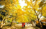 The Fall of the Gingko...