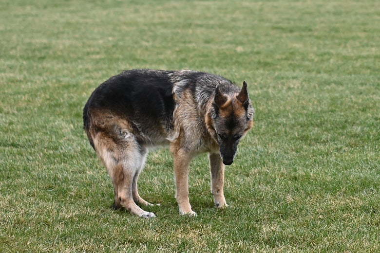 The Bidens dog Champ is seen on the South Lawn of the White House in Washington, D.C. on March 31, 2021.