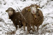Study Finds That Sheep Are Surprisingly Good at Recognizing Photo...